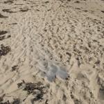 sable2
